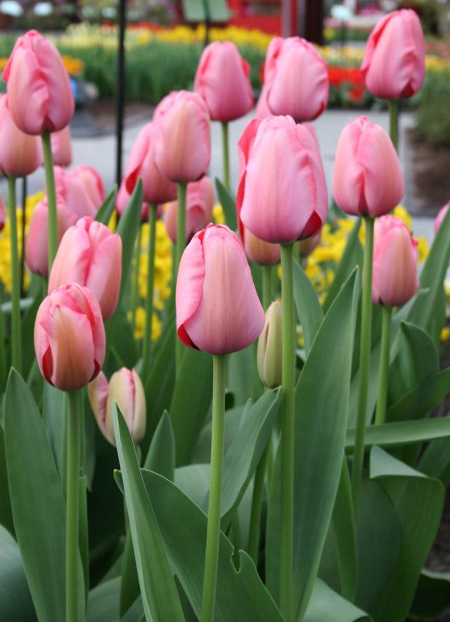 Darwin-Hybrid-Tulip,-Pink-Impression-(2)