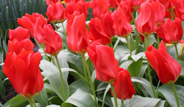 Fosteriana-Tulip,-Red-Emperor-(8)