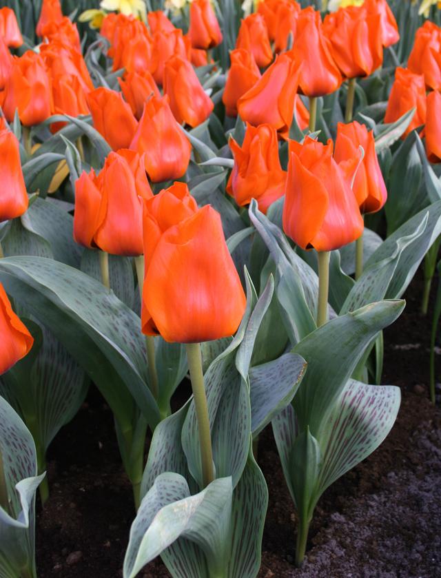 Gregii-Tulip,-Tulsa-(5)
