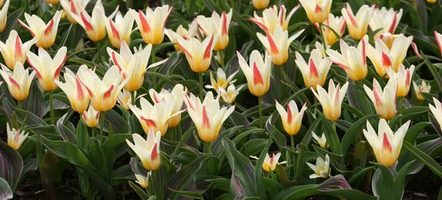 Tulip Series: Kaufmanniana and Greigii Tulips