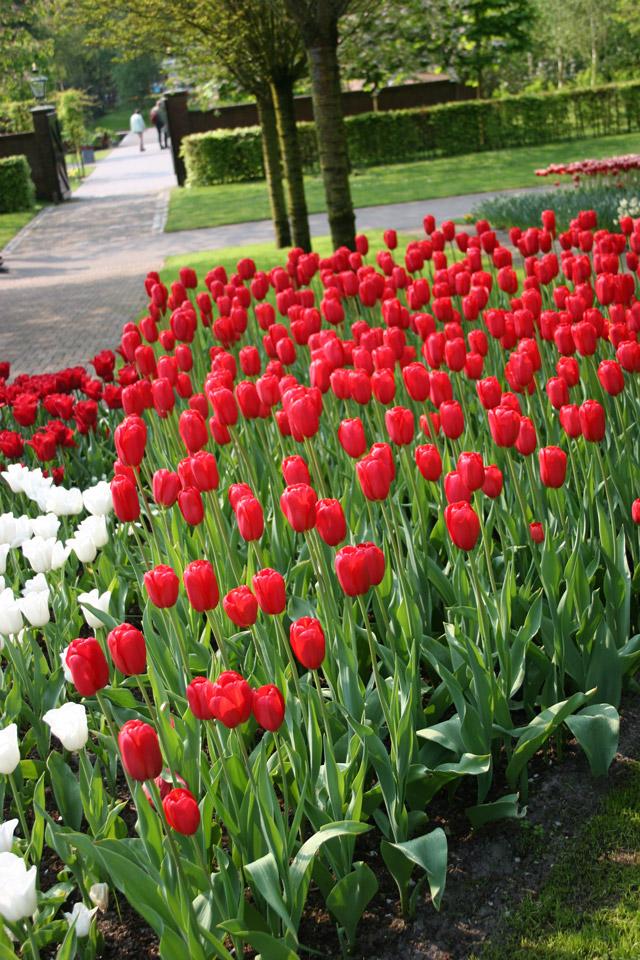 Red Darwin Hybrid Tulips