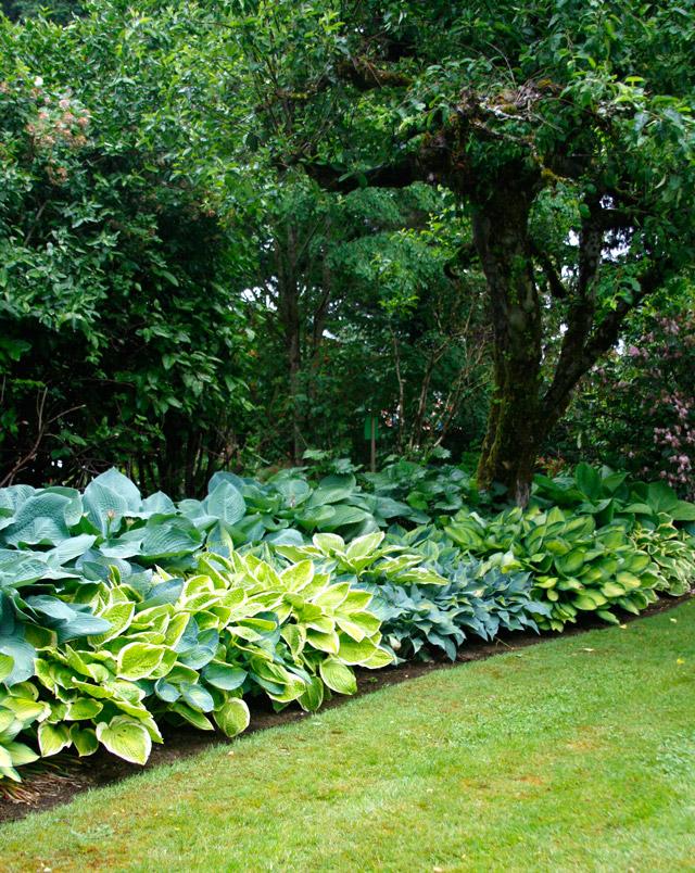 Hosta design 101 garden bulb blog flower bulbs for Hosta garden designs