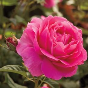 Bareroot Roses 101
