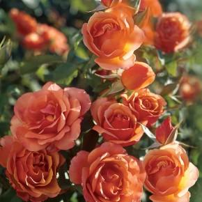 Tips for Planting Bareroot Roses