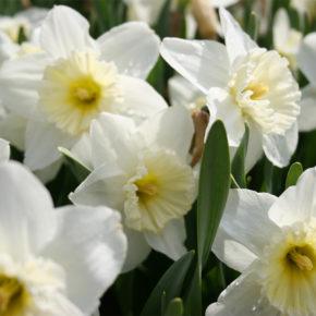Mount Hood Daffodils 101