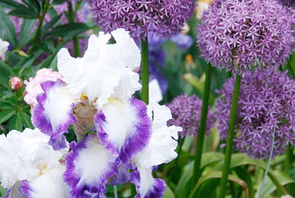 Bearded Iris and Allium