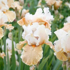 Top 7 Bearded Iris for 2018