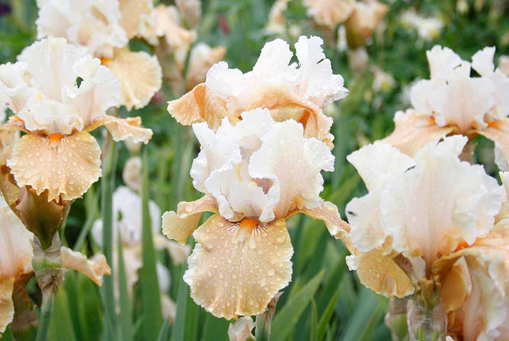 Champagne Elegance Bearded Iris