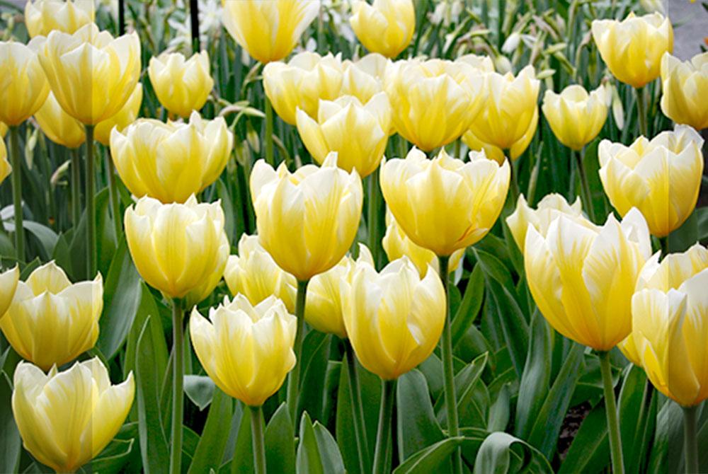 Sweetheart Fosteriana Tulips