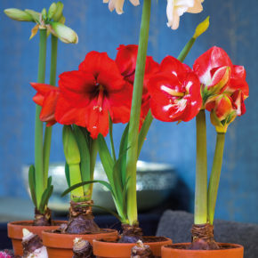 Amaryllis Care: 6 Tips for Growth and Blooms