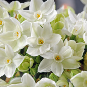 Paperwhites: 5 Tips for Growth and Blooms