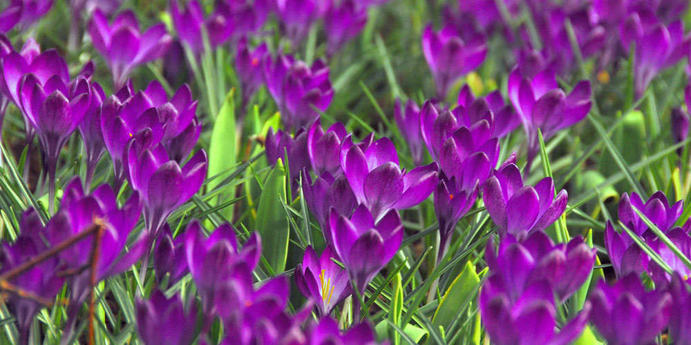 Ruby Giant Crocus