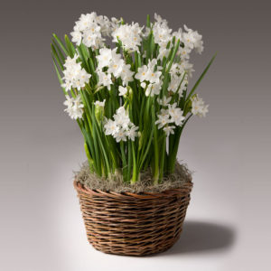 Paperwhites Potted Bulb Garden