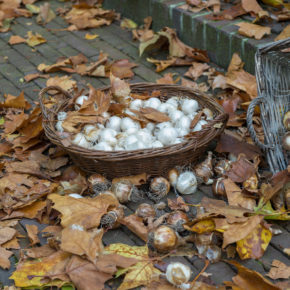 7 Reasons November is the Best Time to Plant Bulbs