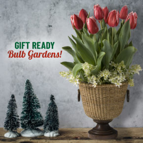 Give the Gift of Blooming Bulbs