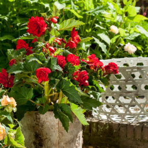 Complete Guide to Growing Begonia Tubers