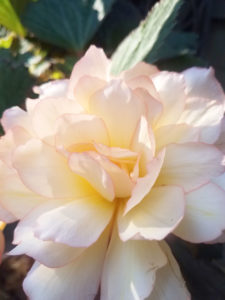 Pink Blush Scentiment Begonia