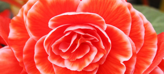 Living Coral the 2019 Pantone Color of the Year: Top 15 Flowers