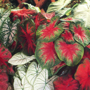 Mixed Caladium