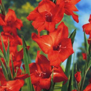 Mirella Mini Gladiolus