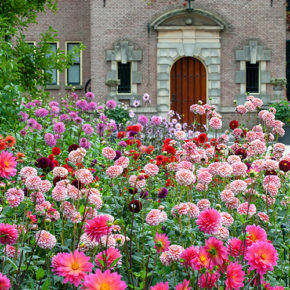 Mass Planting of Dahlias