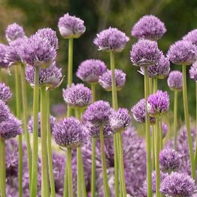 Blue Eddy Allium