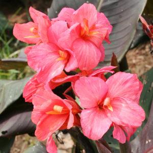 Dwarf Canna Lilies