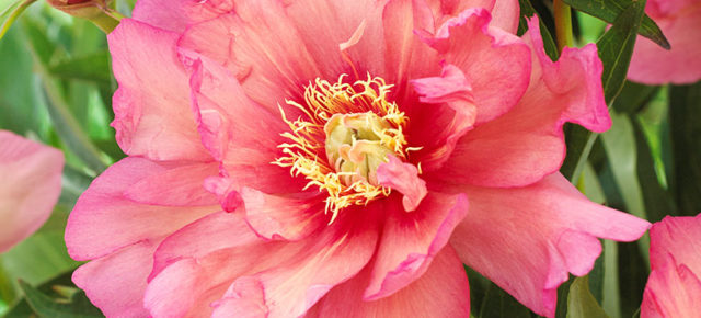 The Difference between Herbaceous Peonies and Itoh Hybrid Peonies