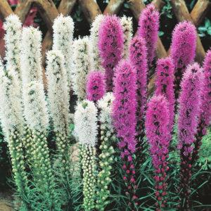 Purple and White Liatris