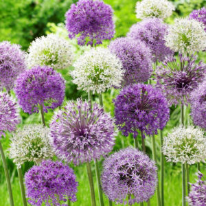 Bubble Blend Allium
