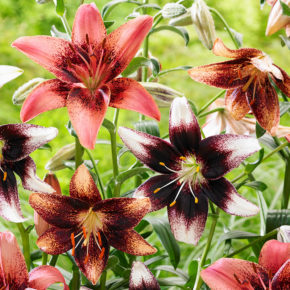 Planting Lilies This Fall: 6 Things to Consider