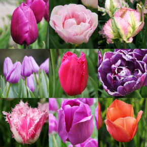 The Beginner's Guide to Gardening with Tulips