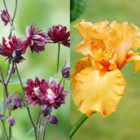 Columbine and Bearded Iris