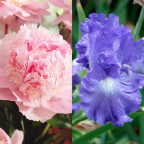 Peony and Bearded Iris
