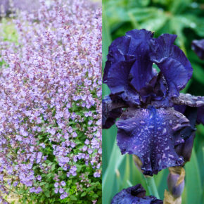 Catmint and Bearded Iris