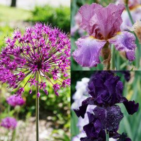 Allium and Bearded Iris