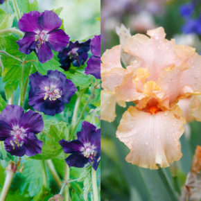 Companion Plants for Bearded Iris: 7 Combinations for Color and Balance