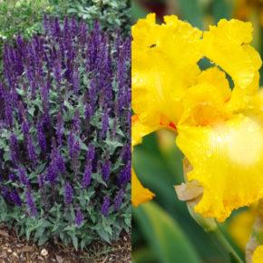 Salvia and Bearded Iris