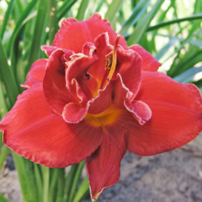 Fires of Fuji Daylily