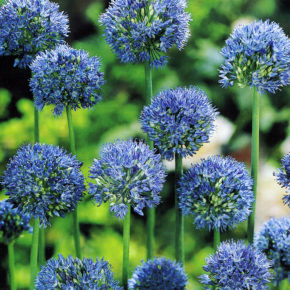 Blue Allium
