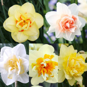 The Beginner's Guide to Gardening with Daffodils
