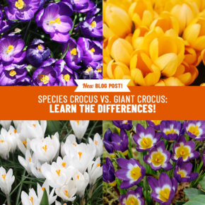 Species Crocus vs Giant Crocus: Learn the Differences