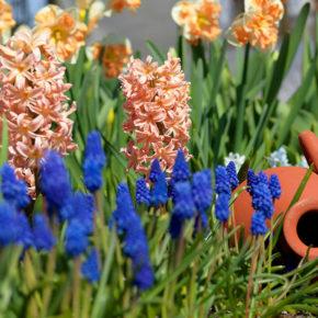 Daffodils, Hyacinths and Muscari