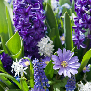 Hyacinths and Grecian Windflower