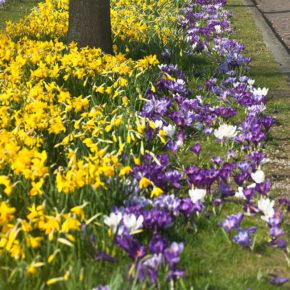 Miniature Daffodils and Crocus