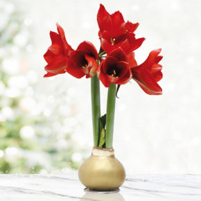 Gold Base Waxed Amaryllis