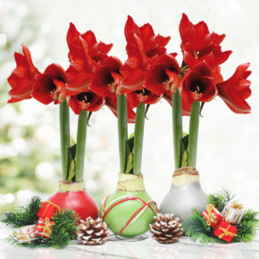 Waxed Amaryllis: The Hottest Gift of the Season!