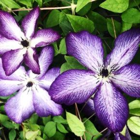 Violet Stargazer Clematis