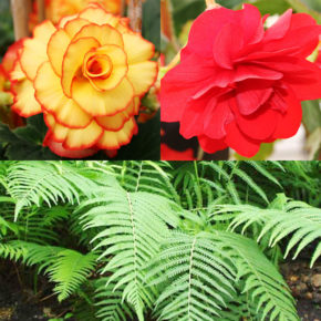 Ferns and Begonias Collection