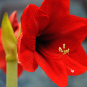 Amaryllis After Bloom Care Tips